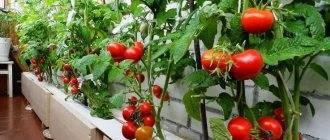 Томат динар: описание и характеристика сорта, выращивание и мнение садоводов с фото
