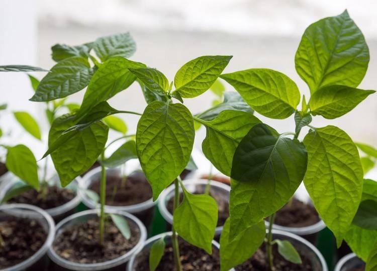 Сроки посадки перца на рассаду в 2020 по лунному календарю