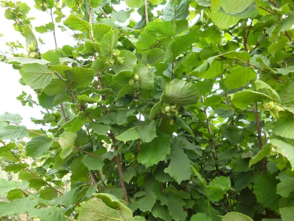 Выращивание фундука на дачном участке: нехитрые хитрости ухода за орешником. как вырастить фундук (лещину) на своем участке?