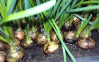 Неприхотливый при выращивании лук стурон. характеристика и описание сорта, посадка и уход