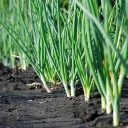 Полив лука после посадки в открытом грунте: как правильно поливать и когда прекращать