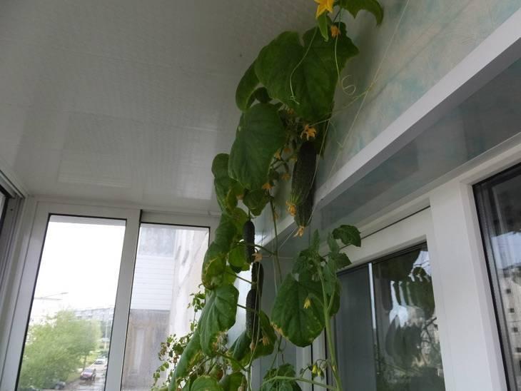 Выращивание огурцов на балконе