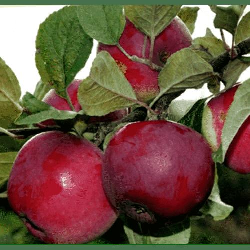 Яблоня приземленное: особенности сорта и ухода
