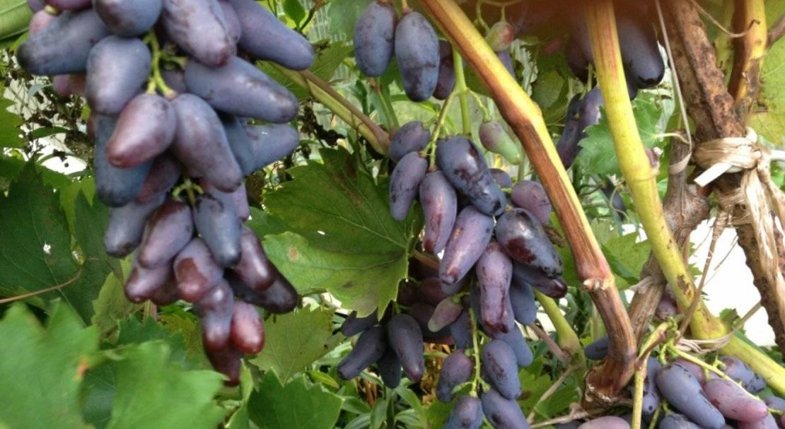 конечно фото коронки винограда памяти негруля давно это было