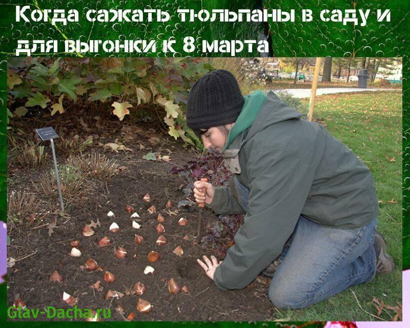 Правила посадки тюльпанов осенью под зиму