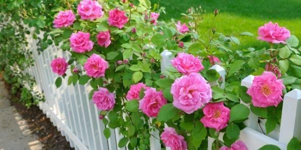 Описание полиантовых сортов роз, уход и выращивание из семян и черенков