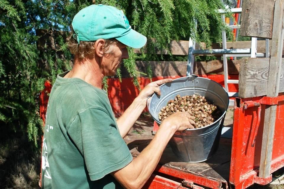 Когда собирают кедровые орехи?