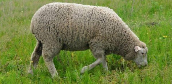 Гост 31777-2012 овцы и козы для убоя. баранина, ягнятина и козлятина в тушах. технические условия