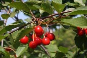 Сорт норд стар — неприхотливая иурожайная американская вишня