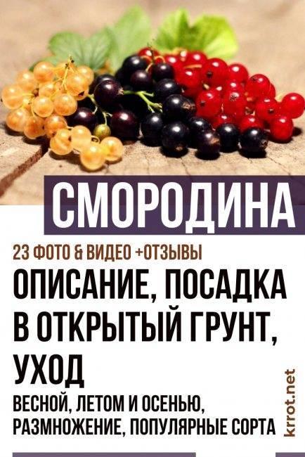 Смородина — черная, красная, белая. посадка, выращивание и уход