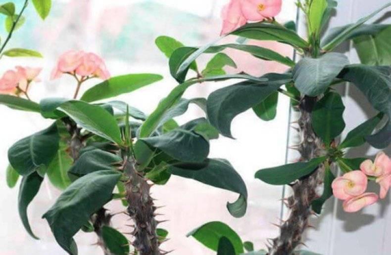Цветок молочай миля — как ухаживать дома