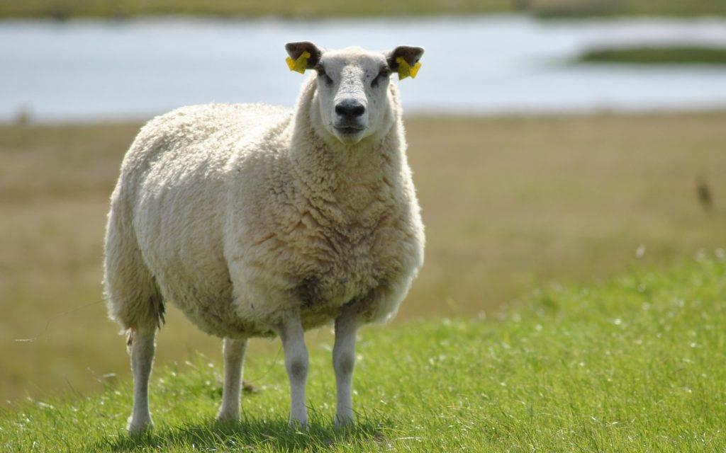 Сколько лет в среднем живут овцы в домашних условиях и в дикой природе