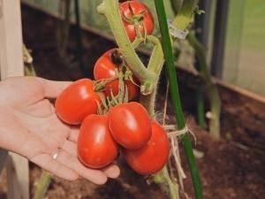 Описание томата великосветский: урожайность, отзывы и условия выращивания