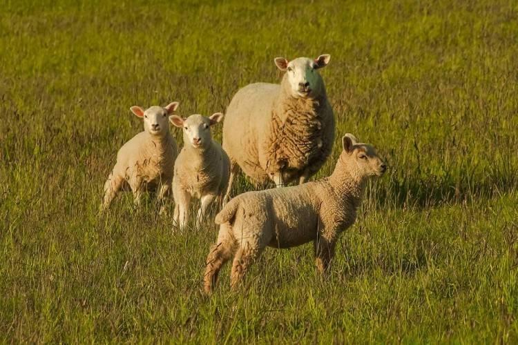 Виды и симптомы маститов у овец, лечение в домашних условиях и профилактика