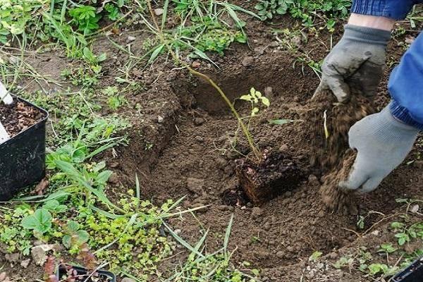 Как посадить, выращивать и ухаживать за алычой, выбор сорта