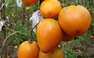 Томат золотое руно: особенности сорта и 5 этапов выращивания рассады