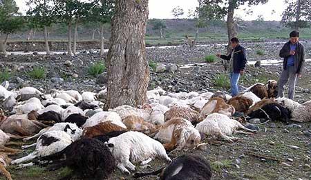 Эстроз у овец