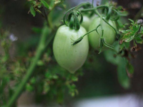 Томат сахарная слива — описание сорта, фото, урожайность и отзывы садоводов