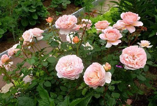 Роза чиппендейл: описание сорта, обрезка и уход, декоративные свойства с фото