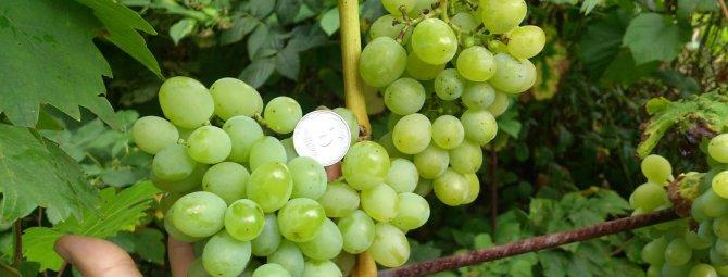 Изумительное «белое чудо» — виноград сорта бажена