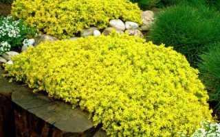 Многолетнее растение очиток: виды, уход и выращивание
