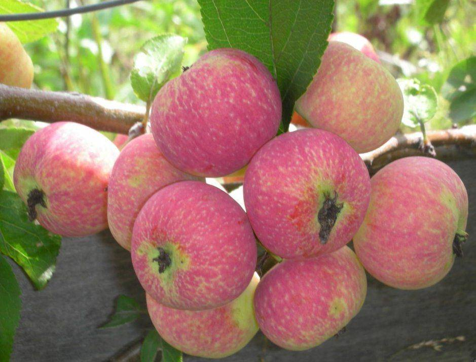 Яблоня жебровское: особенности сорта и ухода