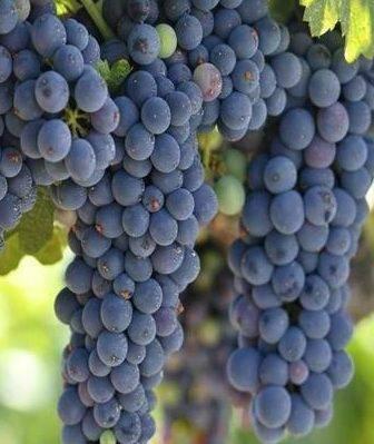 Самый неприхотливый виноград для холодной осени: описание зилга