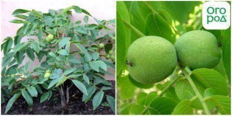 Особенности подкормки грецкого ореха весной, летом и осенью
