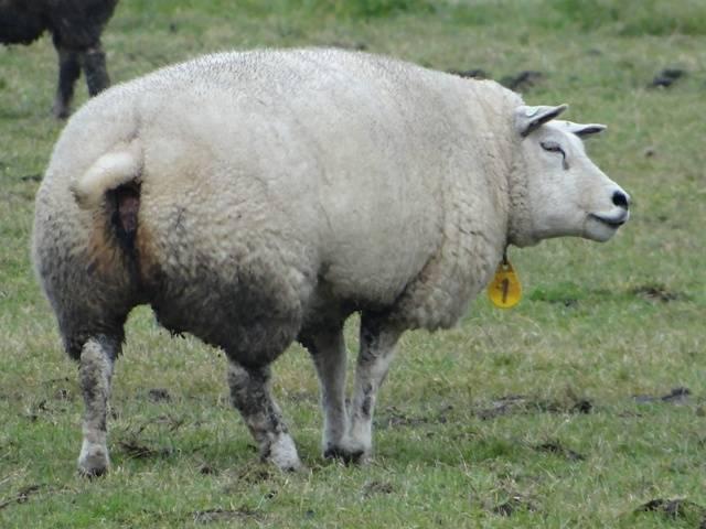 Самые распространенные породы овец
