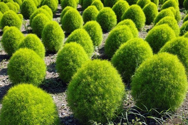 Выращивание кохии из семян: когда сажать и как ухаживать
