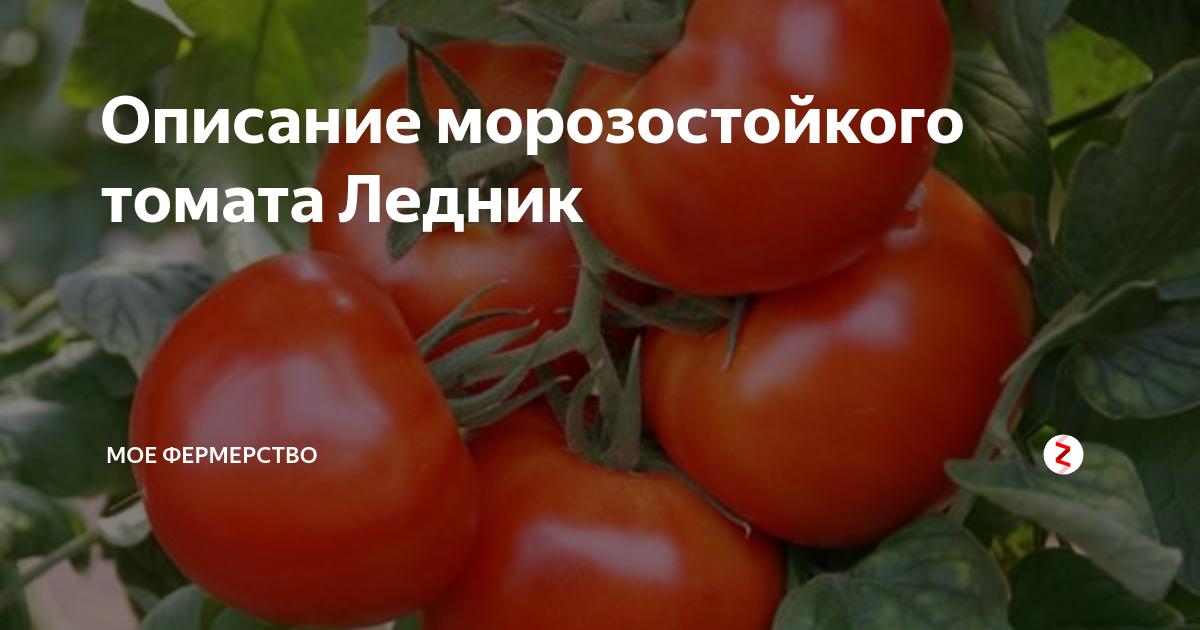 Сорт томата «ледник f1»: описание, характеристика, посев на рассаду, подкормка, урожайность, фото, видео и самые распространенные болезни томатов