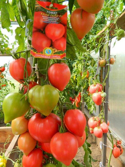 Томат грот: описание и характеристика сорта, выращивание и мнение садоводов с фото