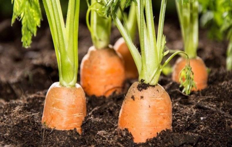 Как поливать морковь: нормы и ошибки