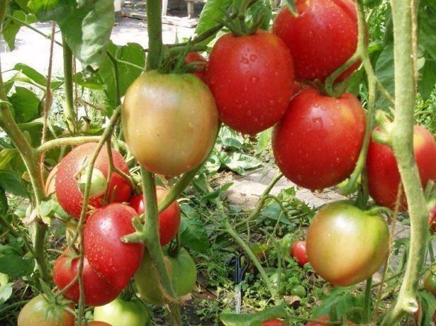 Томаты «бабушкин секрет» для любителей крупных помидоров