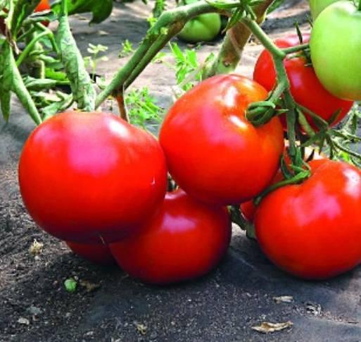 Настоящий высокоурожайный южанин – сорт томата «о-ля-ля»: фото, описание и особенности выращивания
