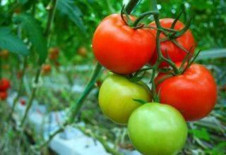 Описание сорта томат чудо гроздь f1 и его характеристики