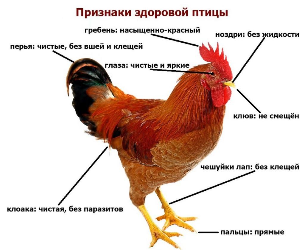 Симптомы и методы лечения глистов у кур