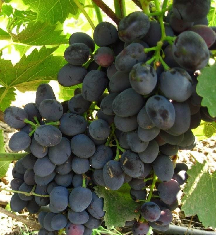 Особенности выращивания гибридного винограда чарли