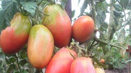 Описание сорта томата Данна, его характеристика и выращивание