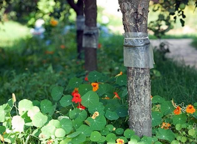 Изготовление ловчих поясов на плодовитых деревьях своими руками
