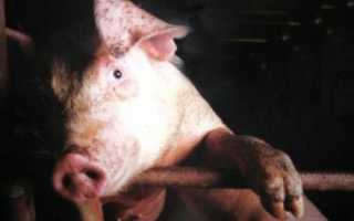 Симптомы и лечение глистов у свиней в домашних условиях народными средствами и препаратами