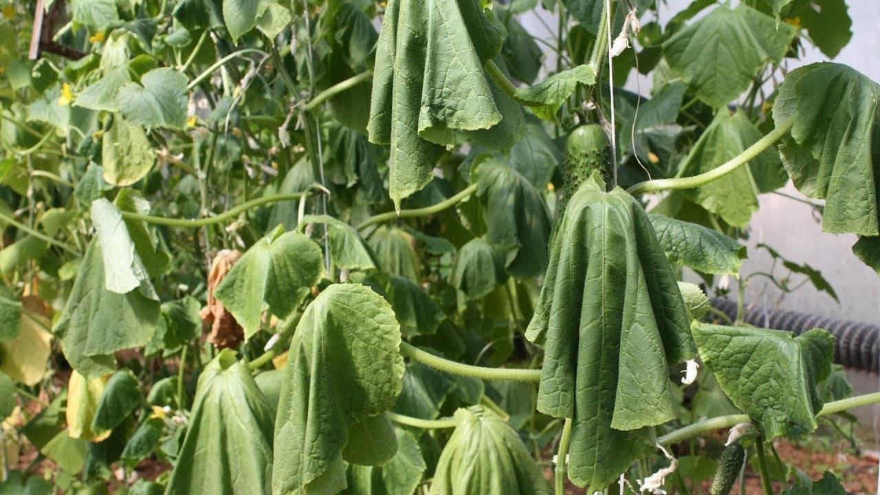 В теплице вянут листья у огурцов — что делать?