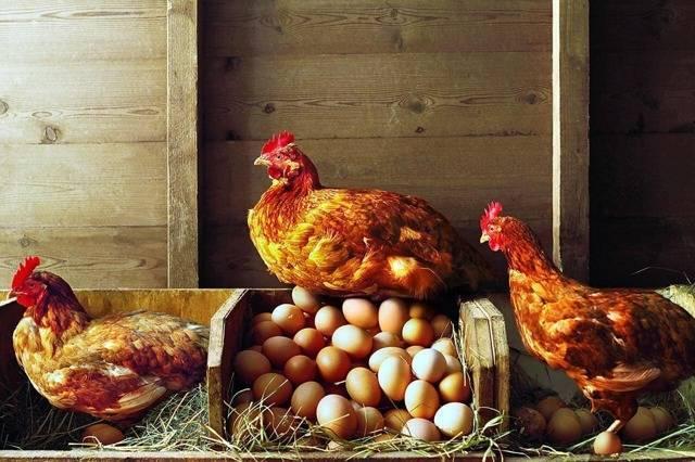 Сколько яиц несёт курица в день: влияние на продуктивность