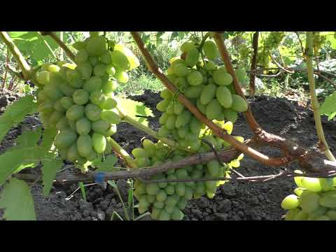 Виноград тимур из легендарного семейства восторг
