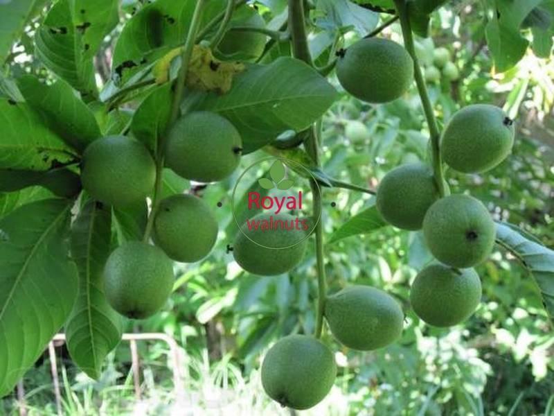 Описание грецкого ореха чандлер и особенности его выращивания
