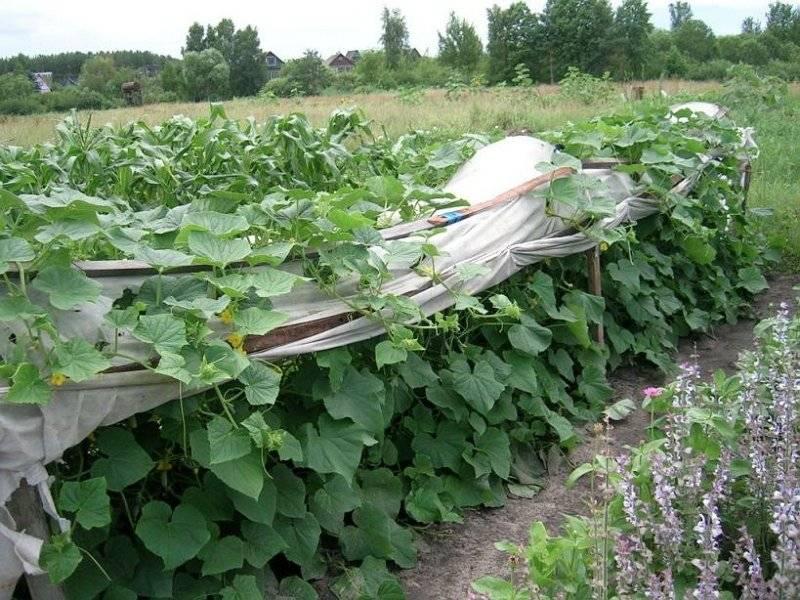 Как и когда сажать огурцы на рассаду?