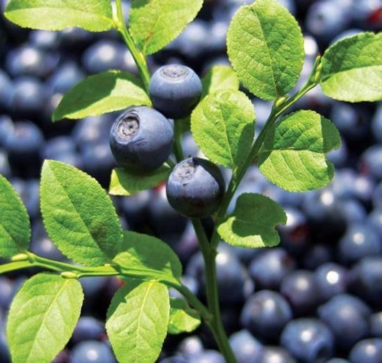 Как вырастить чернику из семян в домашних условиях