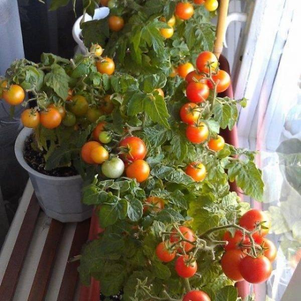 Выращивание томатов на окне в квартире или на балконе