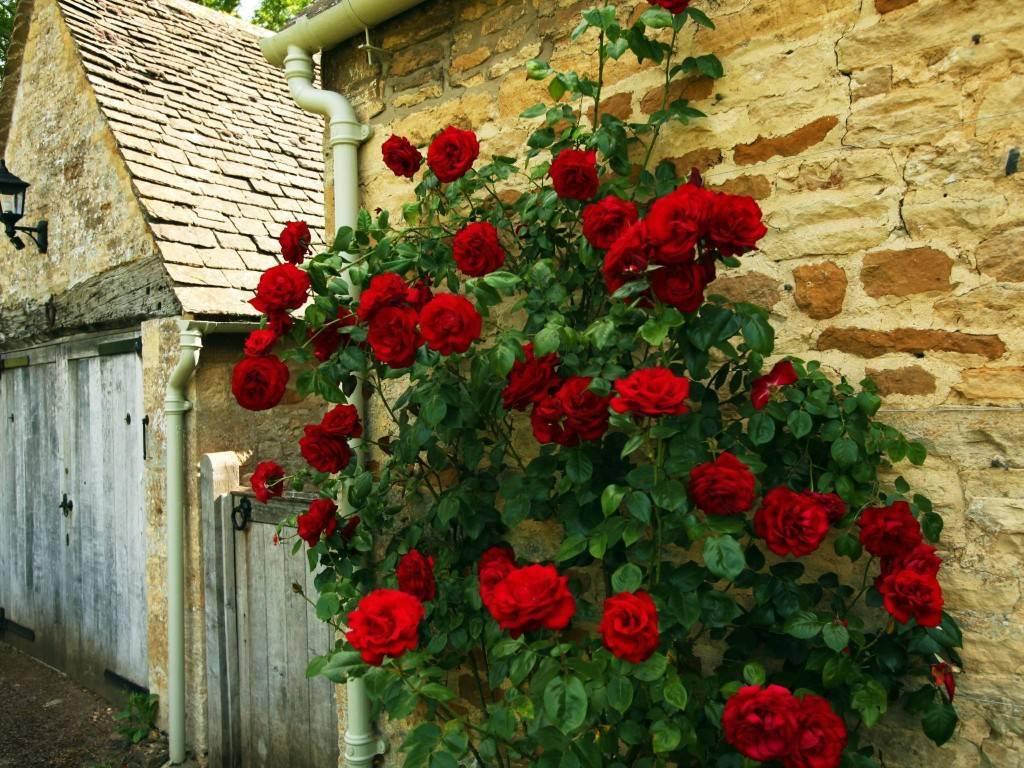 Роза Алоха: описание сорта и характеристика, правила посадки и выращивания