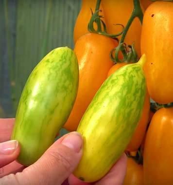 Удивительный сорт для дачников-экспериментаторов — томат «банановые ноги» и рекомендации по его выращиванию